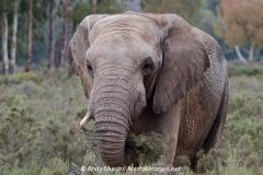 African Bush Elephant 010