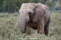 African Bush Elephant 013