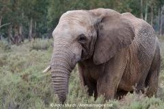 African Bush Elephant 014