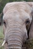 African Bush Elephant 015
