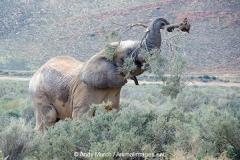 African Bush Elephant 017