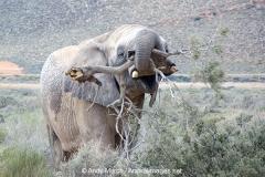 African Bush Elephant 022