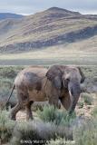 African Bush Elephant 025