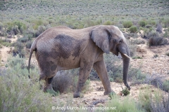 African Bush Elephant 033