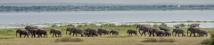 African Bush Elephant 053