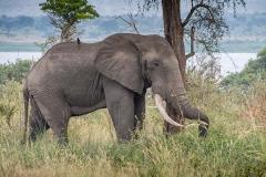 African Bush Elephant 064