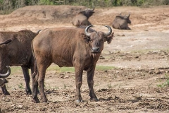 African Forest Buffalo 007