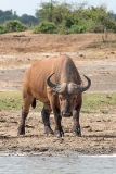 African Forest Buffalo 009