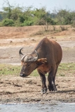 African Forest Buffalo 010