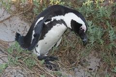African Penguin 013