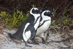 African Penguin 014