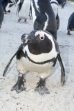 African Penguin 028