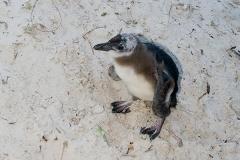 African Penguin 034