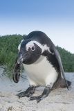 African Penguin 037