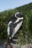 African Penguin 044