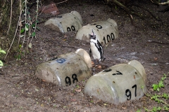 African Penguin 060
