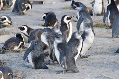 African Penguin 072