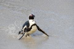 African Penguin 095