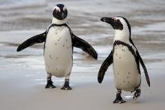 African Penguin 106