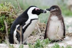 African Penguin 111