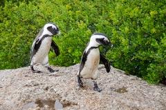African Penguin 115