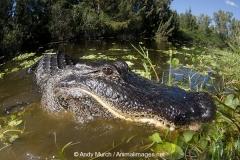American Alligator 032