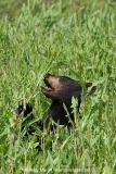 American Black Bear 011
