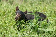 American Black Bear 013