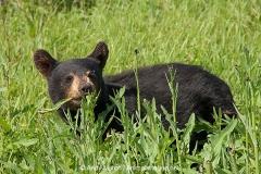 American Black Bear 017