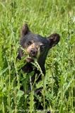American Black Bear 026