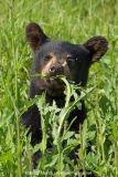 American Black Bear 028