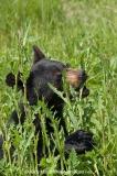American Black Bear 034