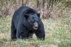 American Black Bear 078