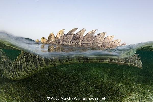 American Crocodile 386