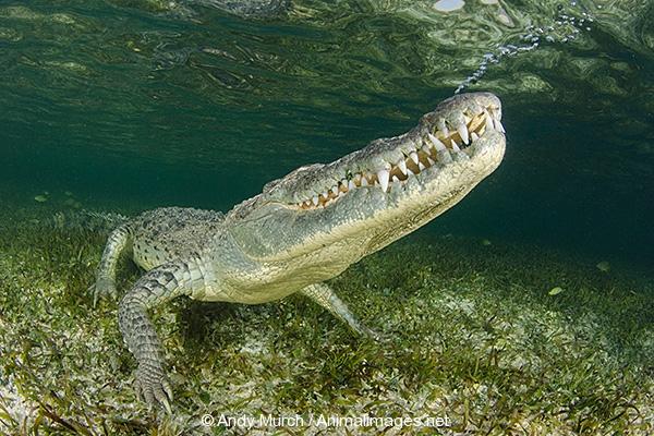 American Crocodile 445