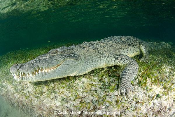 American Crocodile 459