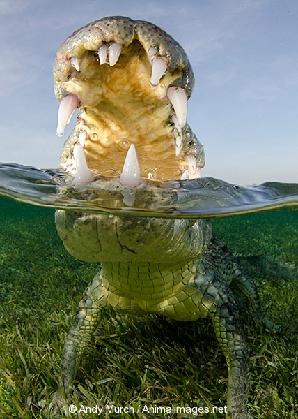 American Crocodile 508