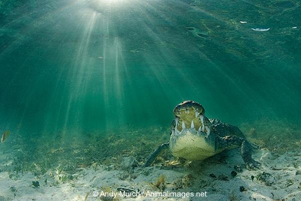 American Crocodile 751