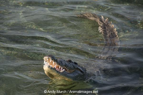 American_Crocodile_760