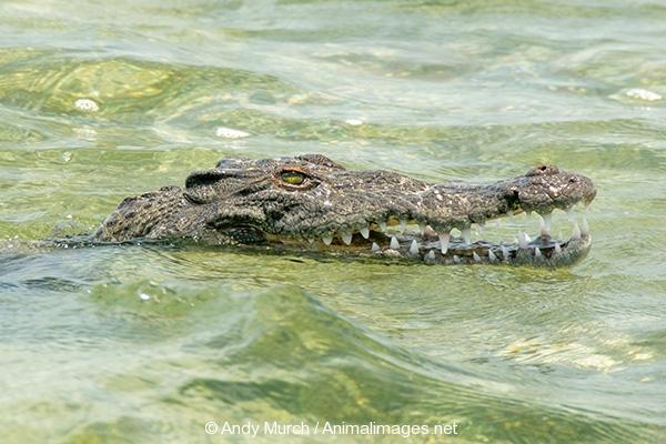 American Crocodile 835