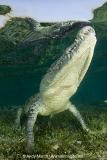 American Crocodile 321