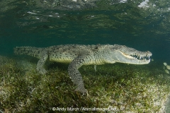 American Crocodile 322
