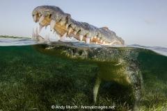 American Crocodile 380