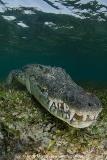American Crocodile 423