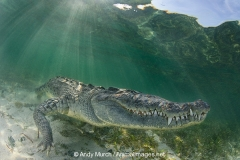 American Crocodile 755