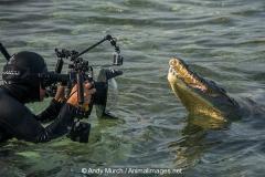 American Crocodile 837