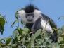 Angolan Colobus Monkey