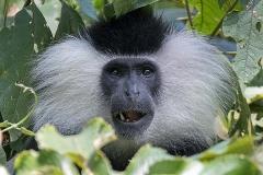 Angolan Colobus Monkey 023
