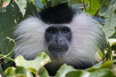 Angolan Colobus Monkey 024
