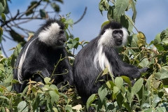 Angolan Colobus Monkey 027